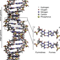 800px-DNA_Structure+Key+Labelled.pn_NoBB.png